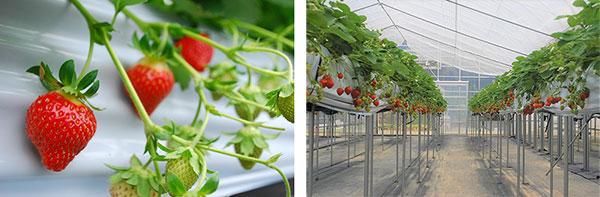 六甲山の体験農園栽培の夏イチゴ