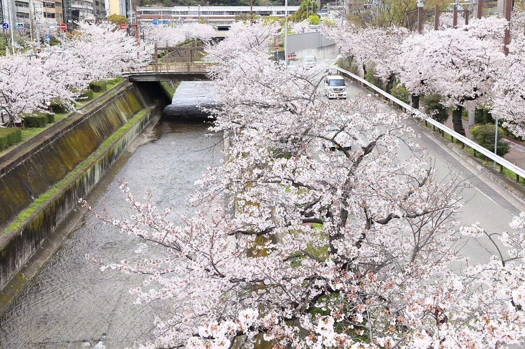 生田川の桜